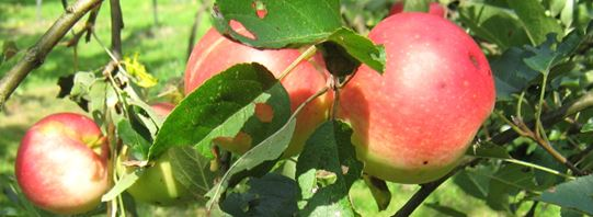 Fruitbomen snoeien en fruit herkennen @ Kerkplein 6